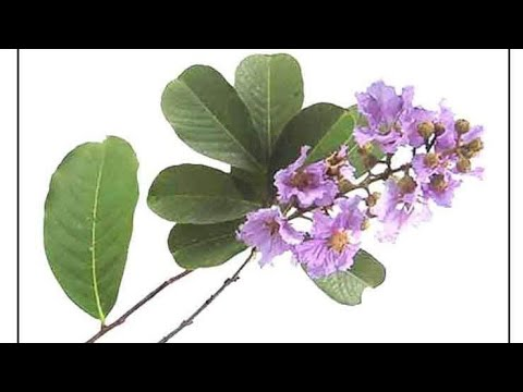 BANABA LEAVES HEALTH BENEFITS  /GOOD FOR DIABETES AND KIDNEY STONES
