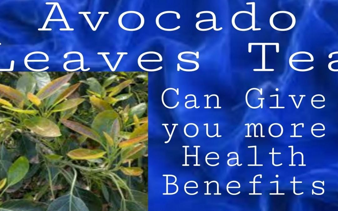 AVOCADO Leaves TEA CAN GIVE you More Health benefits