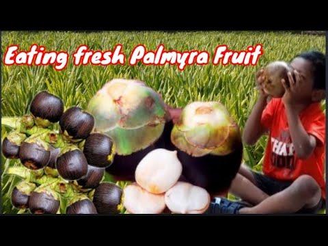 Eating Palmyra   Tasting Palmyra  Tender   Eating Ice Apple   Palm Fruit   Saicharan Creative Ideas